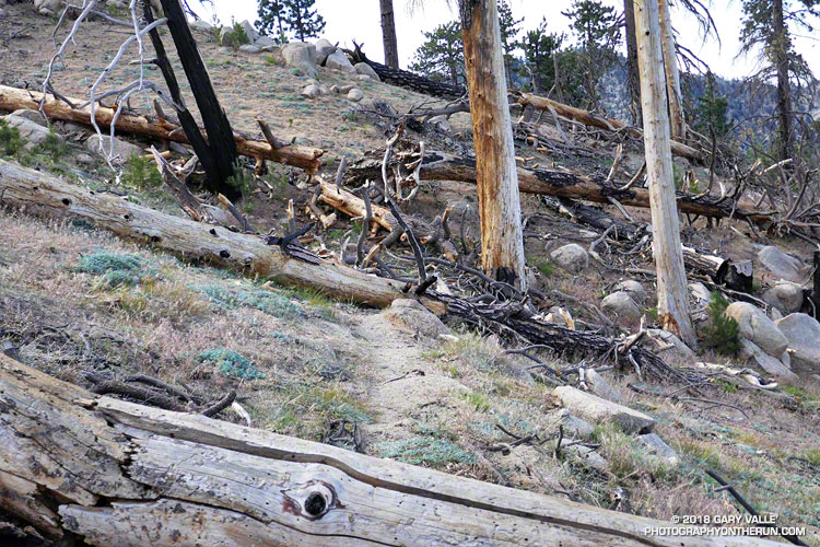 Trees killed in the 2009 Station Fire blocking the Three Points - Mt. Waterman Trail, west of the Twin Peaks Trail junction. The photograph is from a run on June 24, 2017. The trees were cleared from the trail later in the year.