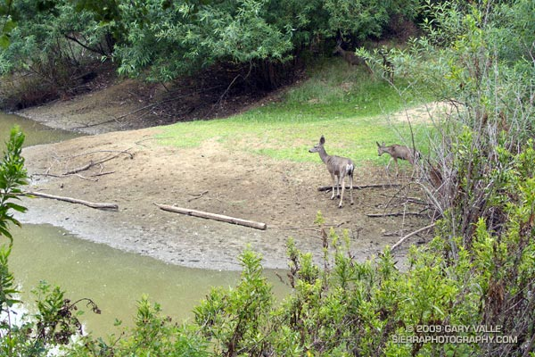 Mule deer at Trippet Ranch in Topanga State Park