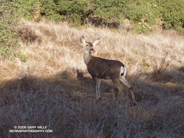 Mule deer along the Musch Trail near Trippet Ranch in Topanga State Park