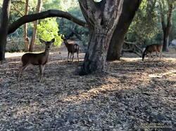 Mule deer at Trippet Ranch