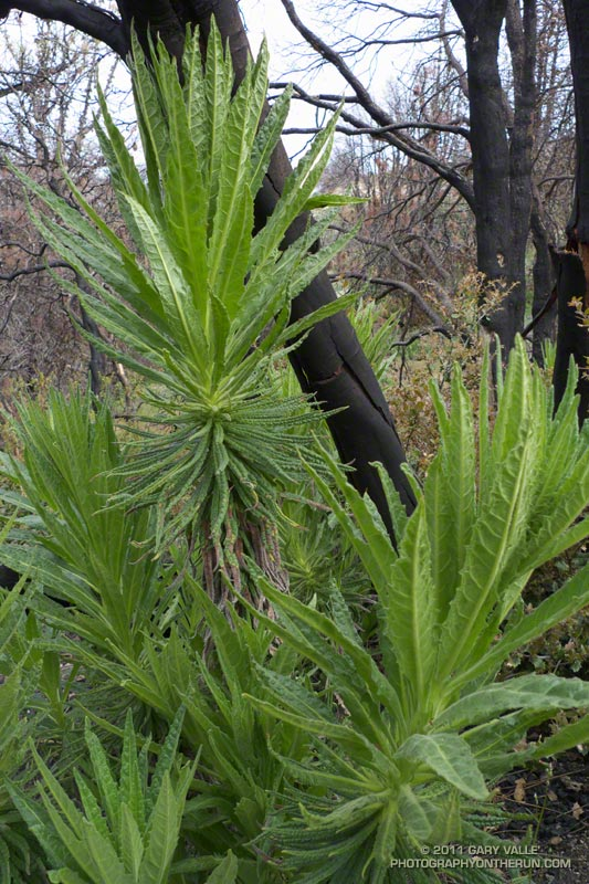 Poodle-dog bush near Three points, prior to flowering, showing the variation in the leaves. May 29, 2011.