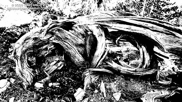 A high contrast black and white study of the disintegrating bole of a lodgepole pine.