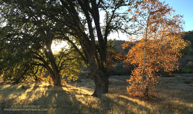 Two oaks and a sycamore in upper Las Virgenes Canyon.