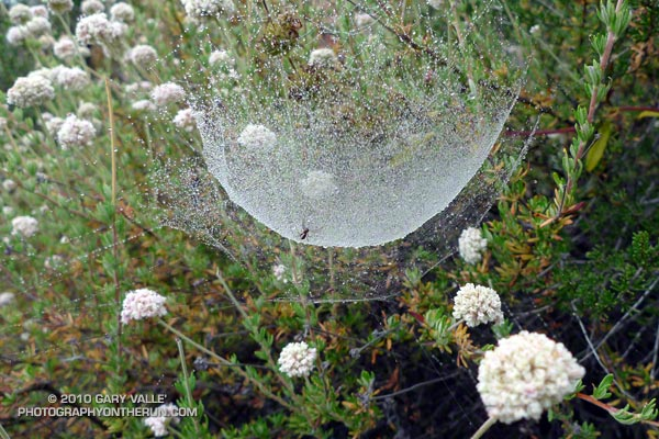 Unusual spider web in the Santa Monica Mountains