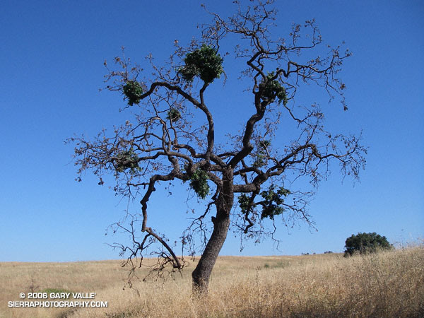 Nine months after the 2005 Topanga Fire, this Valley Oak continues the slow process of recovery.