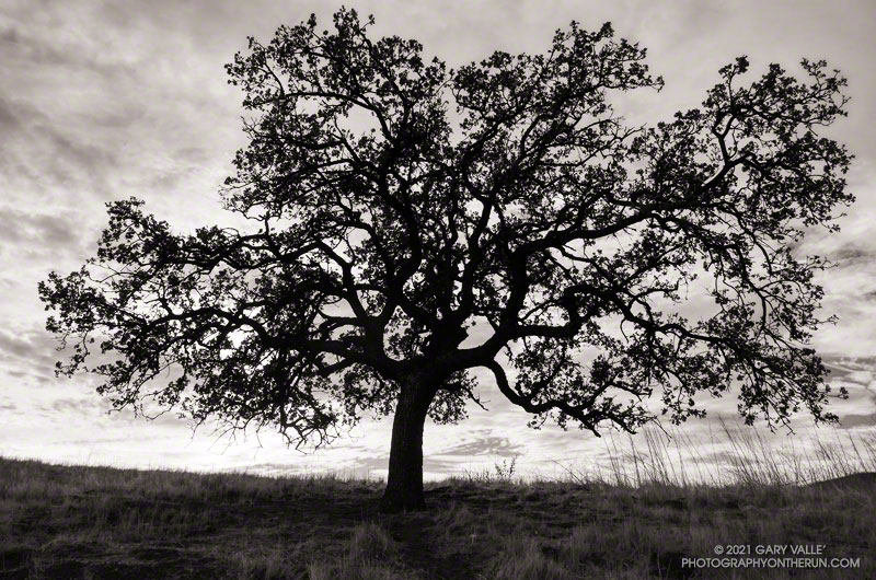 Valley oak silhouette