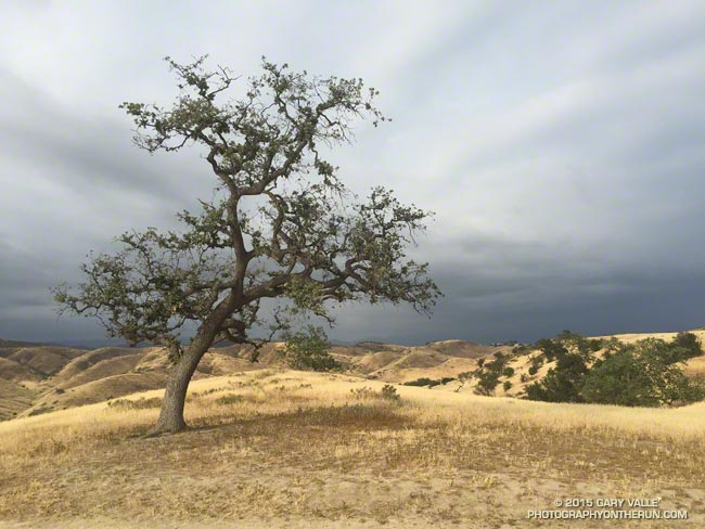 drought-stressed valley oak in Upper Las Virgenes Canyon Open Space Preserve (Ahmanson Ranch)