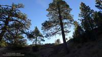 Morning sun on trees at Vincent Gap from the Manzanita Trail