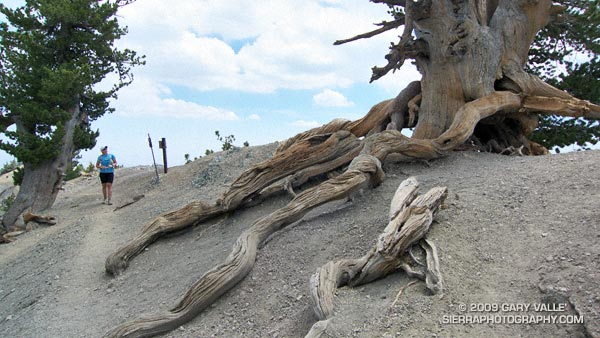 The gnarled and twisted roots of the Wally Waldron Limber Pine