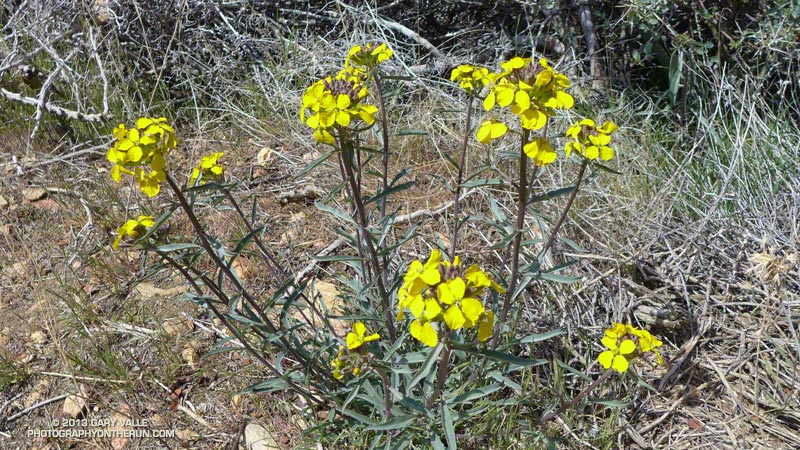 Western wallflower (Erysimum capitatum), a member of the Mustard family