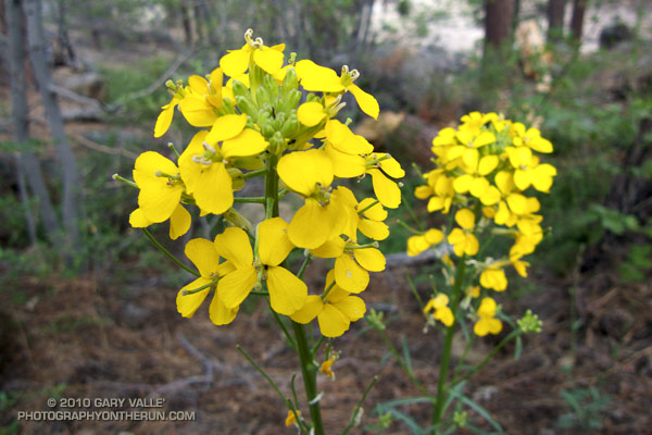 Western wallflower on the Gray's Peak Trail, near Big Bear Lake.