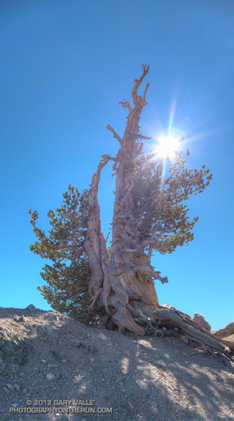 The Wally Waldron Tree on the summit ridge of Mt. Baden-Powell near Los Angeles. The tree, a limber pine, is estimated to be 1500 years old.