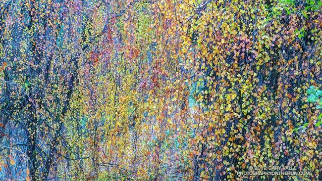 Weeping beech, Hoyt Arboretum