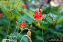Western columbine along the Lost Trail in Windy Hill Open Space Preserve