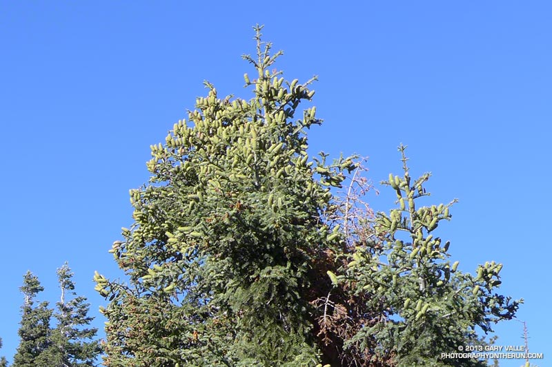 White firs on Blue Ridge heavily laden with seed cones. San Gabriel Mountains, August 17, 2013.