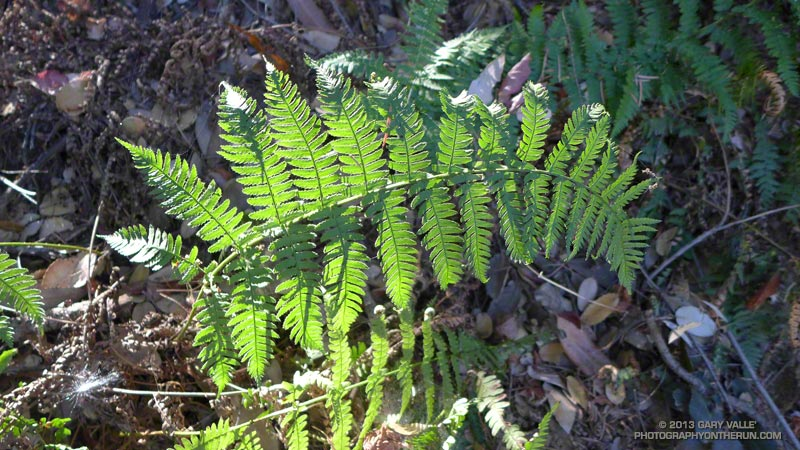 Wood fern along the Winter Creek Trail. November 10, 2013.