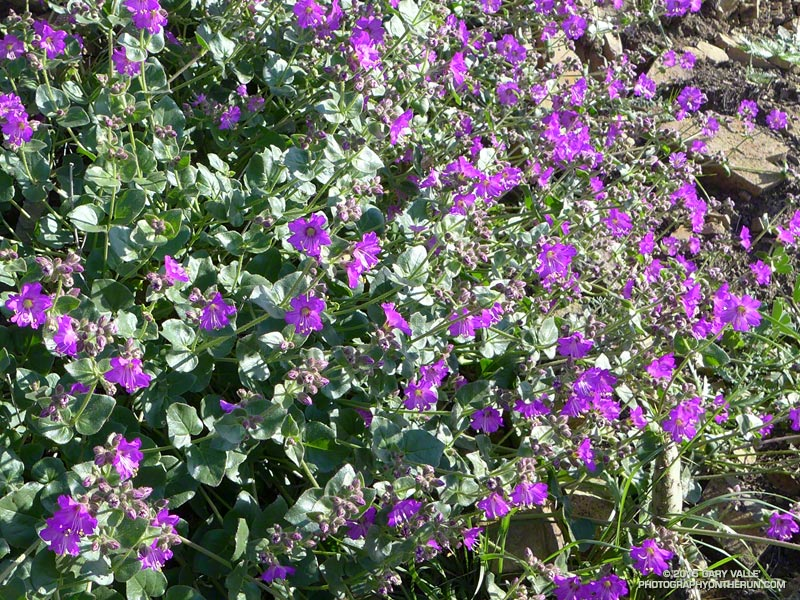 Wishbone bush, aka California four o'clock, (Mirabilis laevis) along the southern segment of the La Jolla Valley Loop Trail. January 31, 2014.