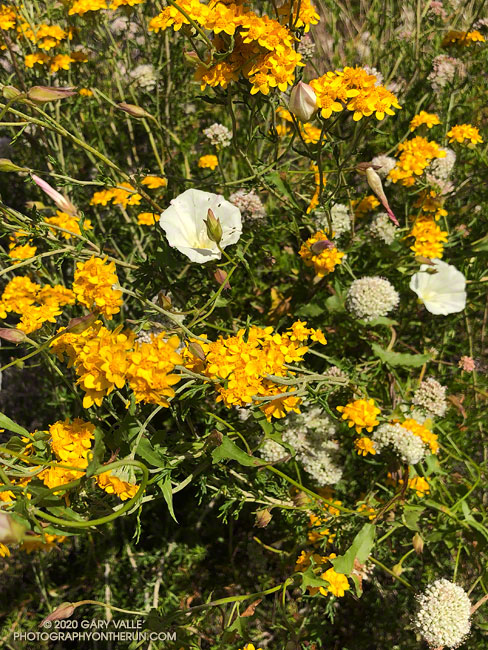 Golden yarrow mixed in with bindweed and buckwheat near the top of the Musch Trail.  May 17, 2020.