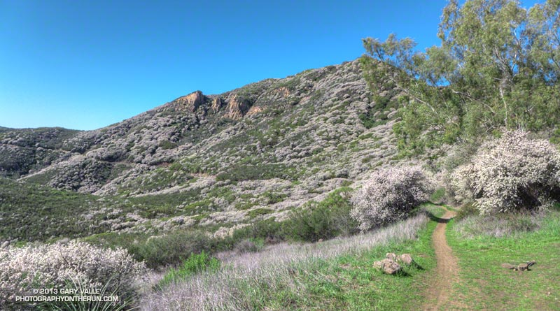 The Yerba Buena segment of the Backbone Trail. The white bloom in the chaparral is Ceanothus. This was part of the Ray Miller 50 mile course.