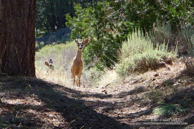 Young deer on the PCT on Blue Ridge in the San Gabriel Mountains