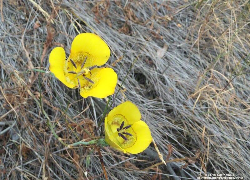 Yellow mariposa lilies along the Chamberlain Trail
