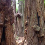 Burls on a cluster of coast redwoods