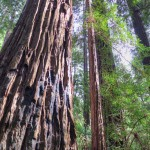 Coast redwoods can grow to astonishing height