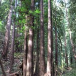 Redwood family circle