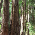 Coast redwoods in the Bohemian Grove
