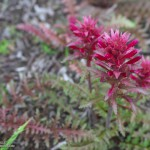 Indian warrior (Pedicularis densiflora) along the Old Boney Trail