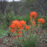 Indian paintbrush (Castilleja affinis) along the Old Boney Trail
