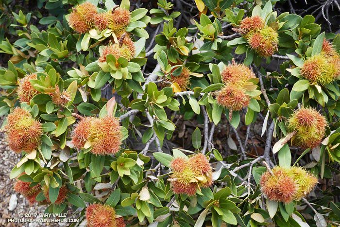 Chinquapin produces a nut, several of which are encased in each thorny burr.