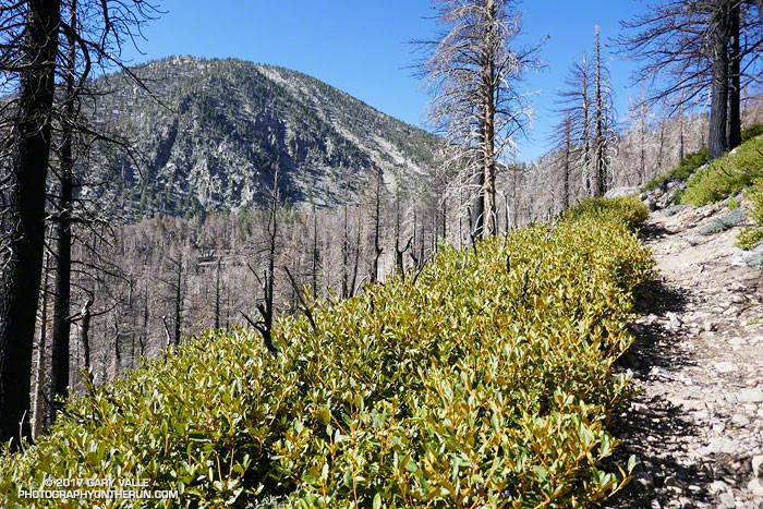 Regrowth of chinquapin along the Dollar Lake Trail on San Gorgonio Mountain following the 2015 Lake Fire.