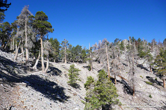 The 2015 Lake Fire burned a number of limber pines in the area of Dollar Lake Saddle.