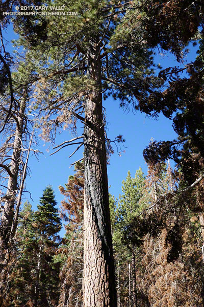 Jeffrey pine struck by lightning and scorched by the Lake Fire.